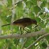 Clay-colored Thrush @ Cottonwood Campground