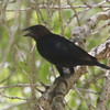 Brown-headed Cowbird @ Cottonwood Campground
