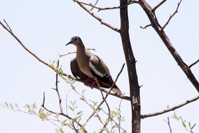 White-winged Dove @ Rio Bosque Wetlands Park