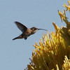 Lucifer's Hummingbird feeding at Agave @ Basin Junction Road