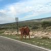 Long Horn Cattle @ Dark Canyon Road