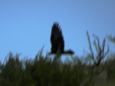 Golden Eagle @ Dark Canyon Road