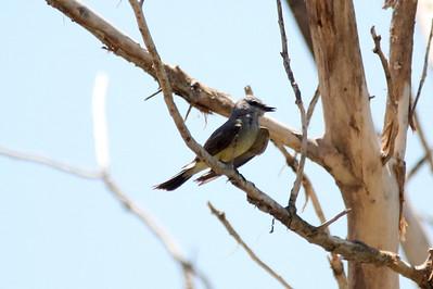 Western Kingbird @ Rio Bosque Wetlands Park