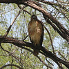 Red-tailed Hawk @ Cottonwood Campground