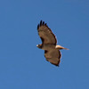 Red-tailed Hawk @ Chihuahuan Desert Research Institute