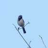 Black-throated Sparrow @ Davis Mountains State Park