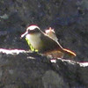 Canyon Wren @ Nature Conservancy's Davis Mountains Preserve