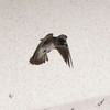 Cliff Swallow @ Highway underpass