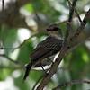 Vermillion Flycatcher (Juvenile) [?] @ Rio Grande Village
