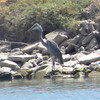 Great Blue Heron @ McNary Reservoir