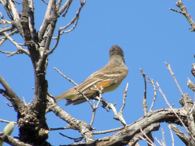 Ash-throated Flycatcher @ McKittrick Canyon Trail