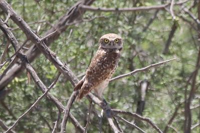 Burrowing Owl @ Rio Bosque Wetlands Park