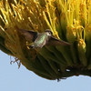 Black-chinned Hummingbird feeding at Agave @ Basin Junction Road
