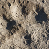 coyote tracks in the mud!