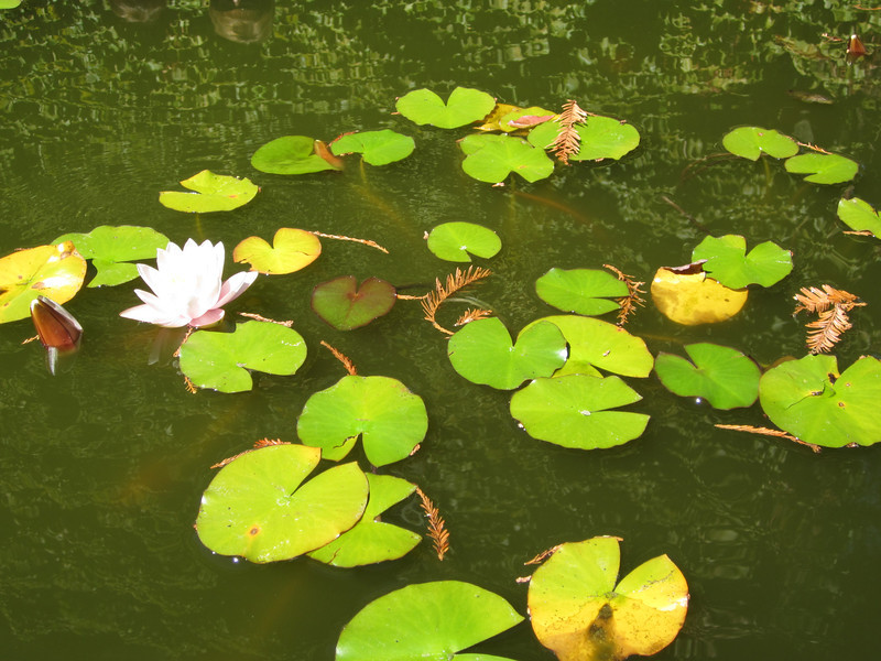 Water Lillies at Hess Collection