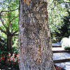 Cork tree on Ferrari-Carano grounds