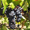 Grapes ready for harvest at Sbragia