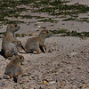 Prairie dog young, Badlands, SD.  June 15, 2014
