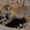 Young prairie dog over entrance to burrow.