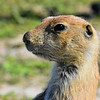 Close-up of young prairie dog.