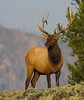 Elk <i> Cervus elaphus</i> Yellowstone National Park, September 2006