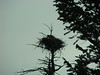 A bald eagle's nest with a young eagle in it.