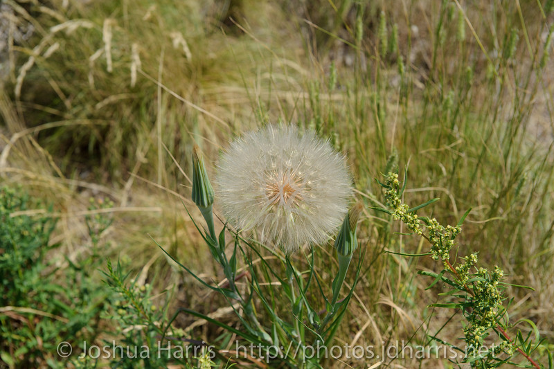 This is the biggest dandelion I have ever seen...  That thing was easily over 2 inches across!