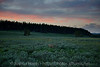 A few deer in the meadow by Yellowstone Lake