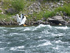 White Pelican on the Yellowstone River