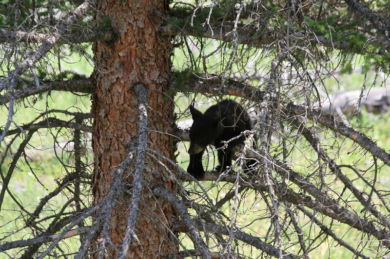 Black bear cub in tree near Tower-Roosevelt.  Mama bear is in next photo.