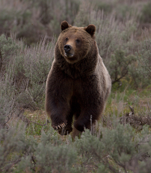 Grizzly Bear <i>Ursus arctos horribilis</i> Grand Teton National Park, May - 2007