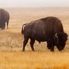 Two bisons are feeding on the plain in preparation of winter.