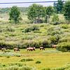 deer or elk