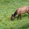 mule dear