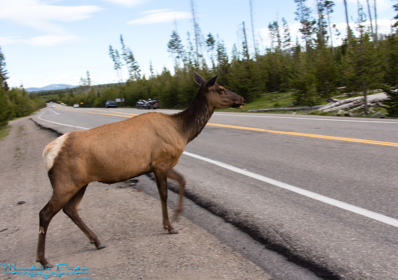 mule deer crossing the road ( it is a lot bigger then you think)