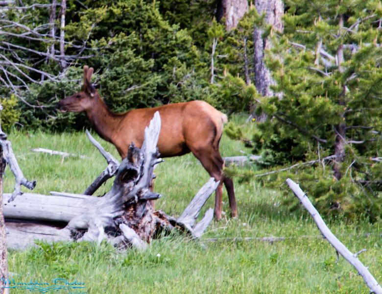 mule deer with growing antlers