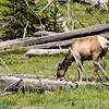mule deer butt