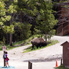 bison near the the canyon lodge