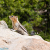 chubby chipmunks looking for food at Inspeation Point