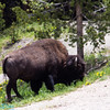 Bison near one of the lodges