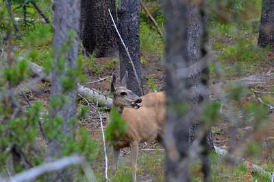 This is a mule deer we found.