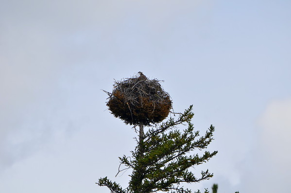 Osprey Nest - with head popping out.