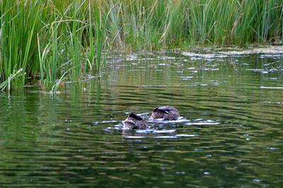 Ducking for dinner.