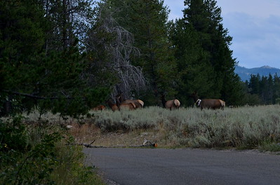 Our first encounter with Elk.  This family was on the move and so we didn't get great pictures.
