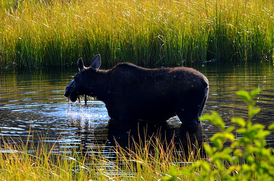 A Moose!!  We found one eating breakfast in the water.