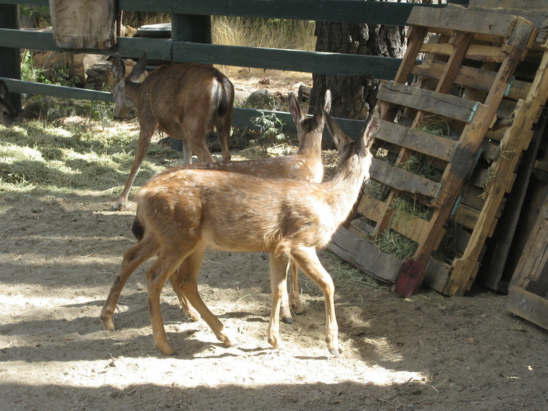 Mamma Deer and her two babies at the stables eating the free hay.  Literally we were less than 8 feet from them.