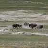 these bison were getting feisty and charging one another...we could not tell the reason
