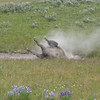 the bison LOVE to take dust baths