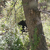 a little black bear cub in a tree eating SOMETHING