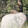 the marmots love to warm on sunny rocks in the AM